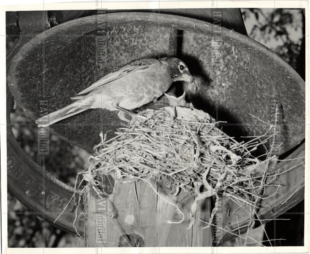 1950 Press Photo robin nest mother feeding baby worm - Historic Images
