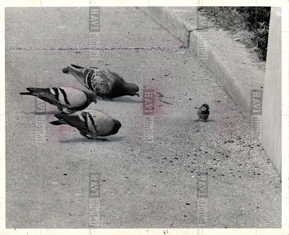 1979 Press Photo pigeon - Historic Images