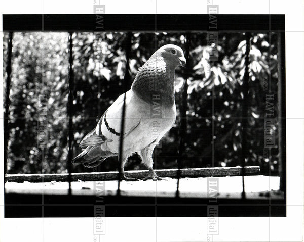 1918 Press Photo pigeon  bird-family columbidae - Historic Images