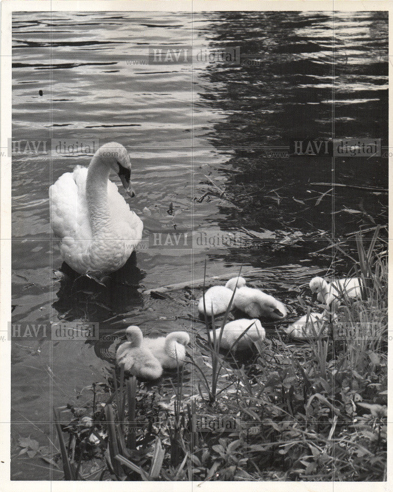 1961 Press Photo BIRD-SWAM - Historic Images