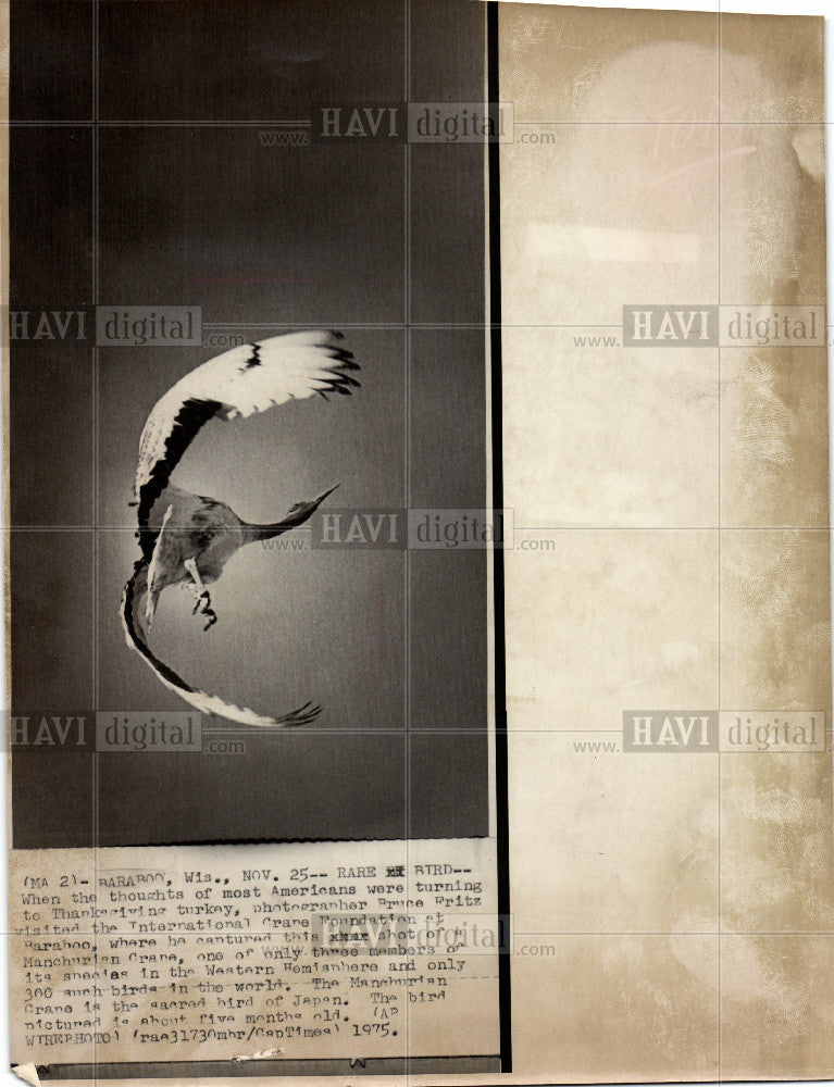 1975 Press Photo manchurian crane bird - Historic Images