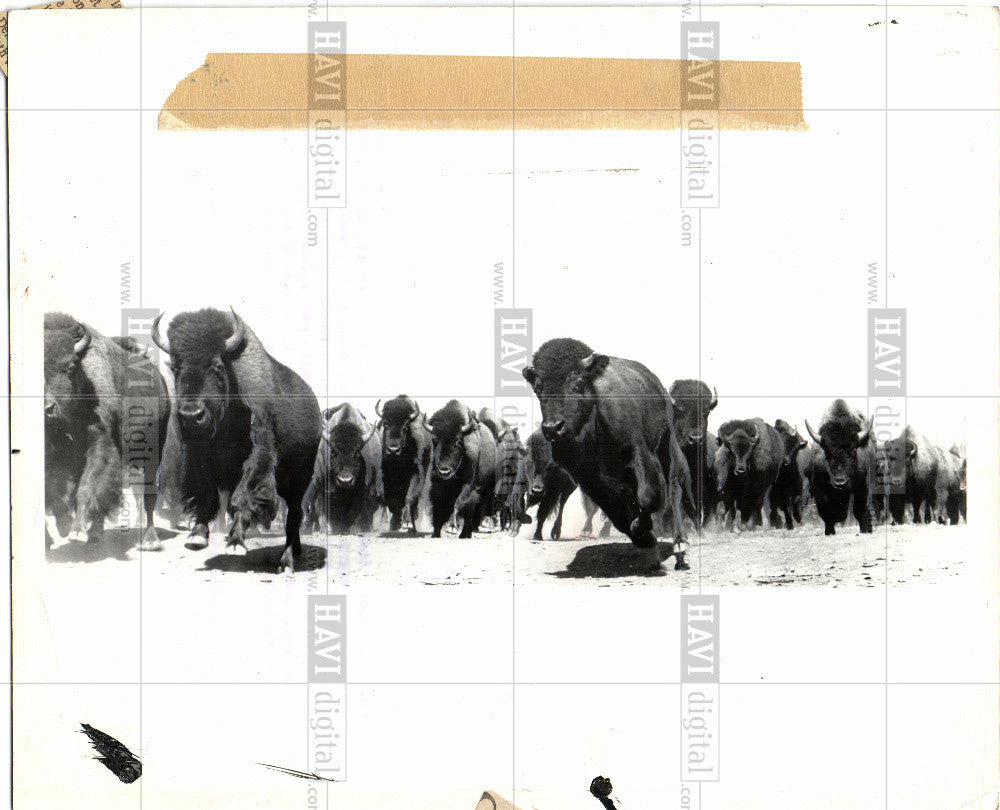 9bfe4554998 why the buffalo are back 1963 Vintage Photo Print   Historic Images