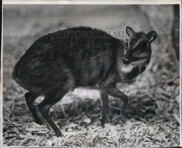 1969 Press Photo Asiatic Mouse Deer at the Milwaukee County Zoo in Wisconsin - Historic Images