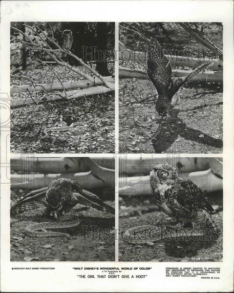 1968 A Great horned owl tangling with a rattle snake in Disney movie - Historic Images