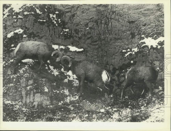 1978 Press Photo Bighorn rams and ewe in Yellowstone National Park, Montana - Historic Images