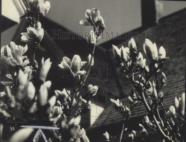 1940 Press Photo Magnolia in bloom on tree in yard of Edward Kunde of Milwaukee. - Historic Images