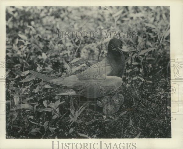 1955 Press Photo Mother Black Tern Sits on Eggs - Historic Images
