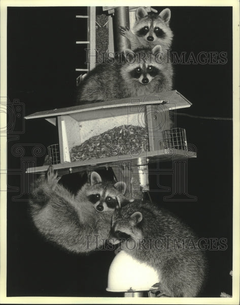 1987 Press Photo Four raccoons get into bird feeder in Kaukauna, Wisconsin. - Historic Images