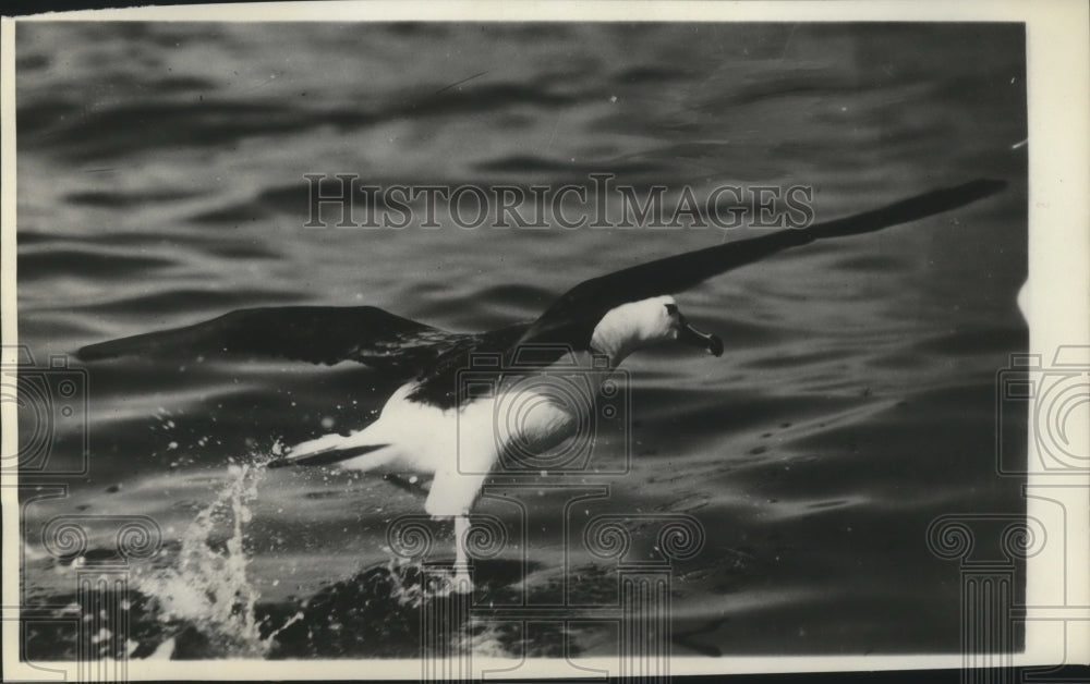 1926 Press Photo Albatross, nemesis of the ancient mariner - Historic Images