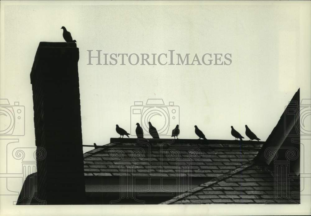 1979 Press Photo Pigeons line the roof of a building in Scotia, New York - Historic Images
