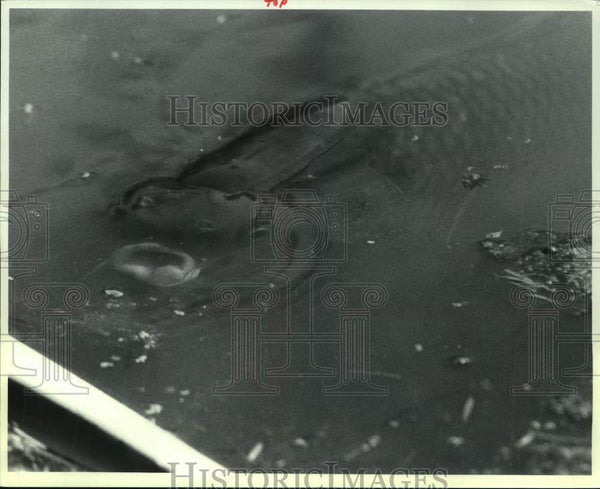 1991 Press Photo Carp gulps air in Washington Park Lake, Albany, New York - Historic Images