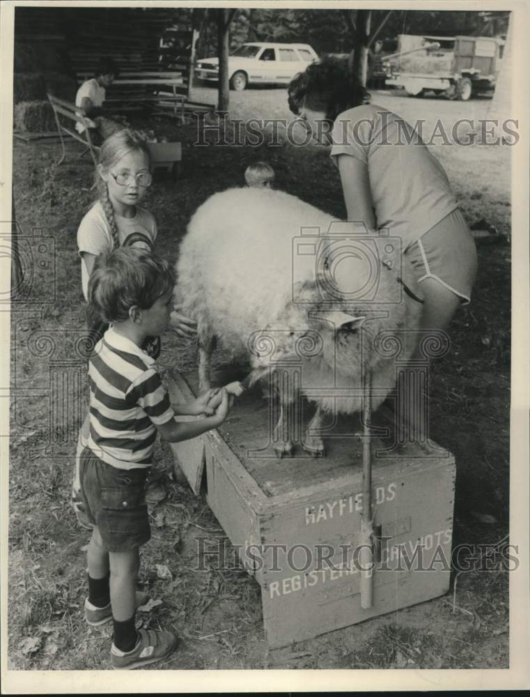 1984 Press Photo A sheep gets a hair cut at the Schaghticoke, New York fair - Historic Images