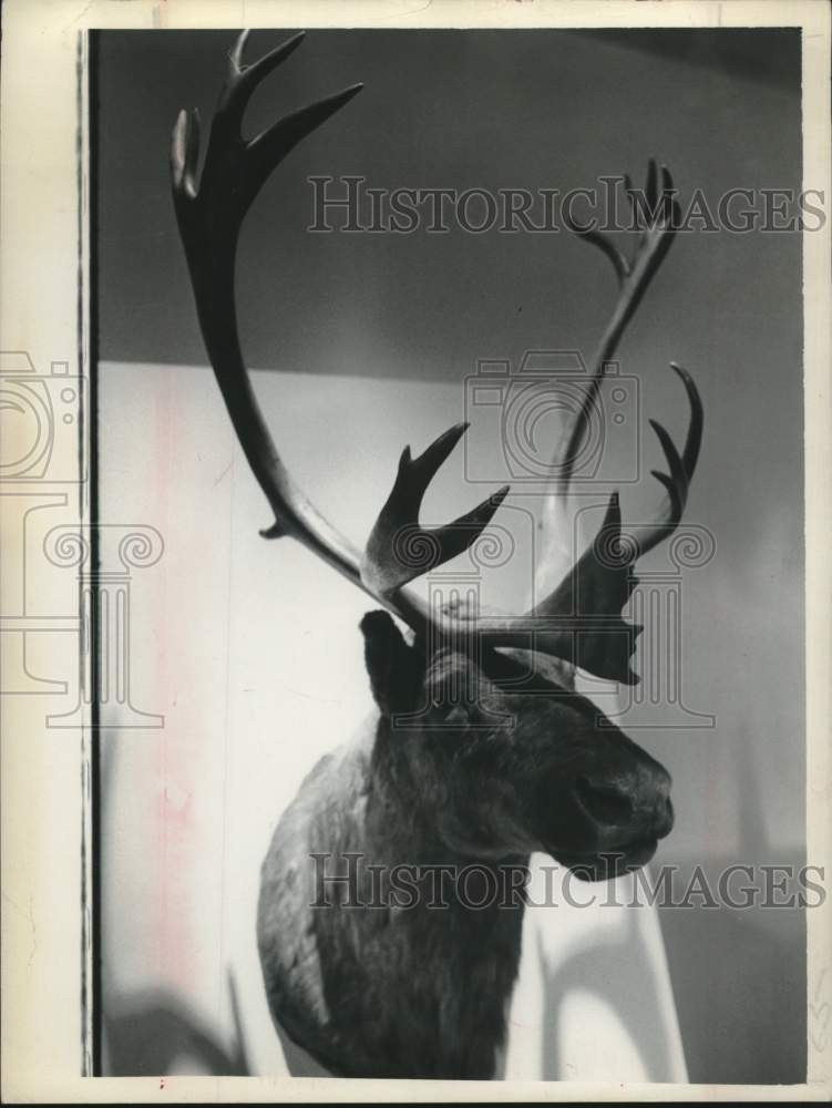Press Photo Model of caribou at the Schenectady Museum in New York - tua16277 - Historic Images