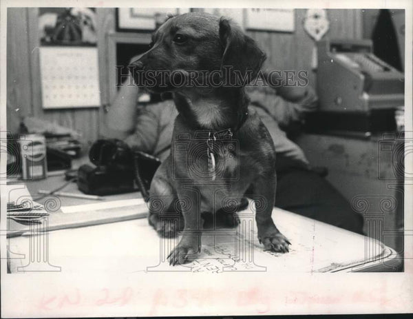 1980 Press Photo Princess, Schenectady County Animal Center mascot, New York - Historic Images