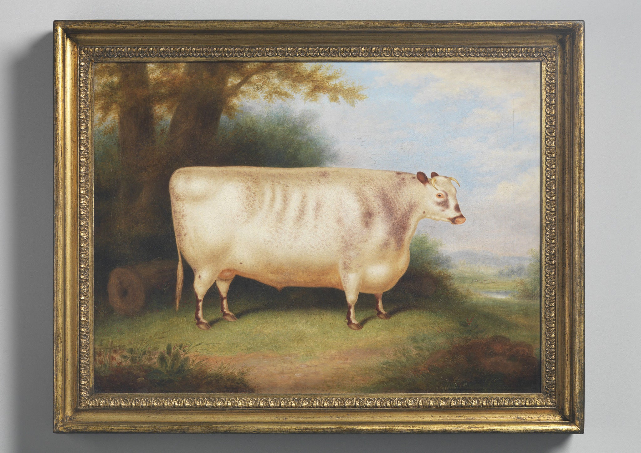 The Prize Shorthorn Ox'