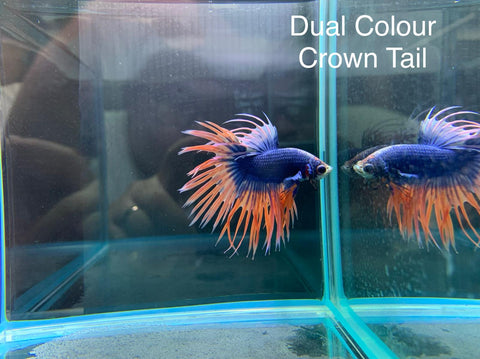 Dual Color Crown Tail