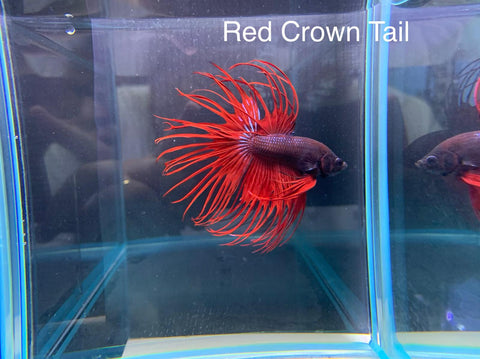 Red Crown Tail