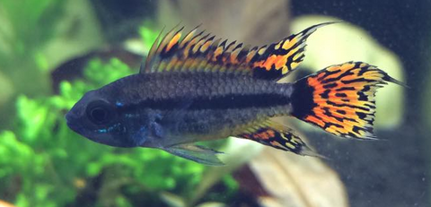 Apistogramma Cacatuoides Triple Red (Pair)