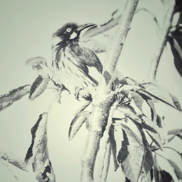 On The Lookout New Holland Honeyeater (Limited Edition Print)