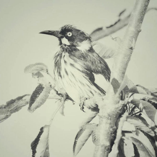 Branch Happy - New Holland Honeyeater (Limited Edition Print)