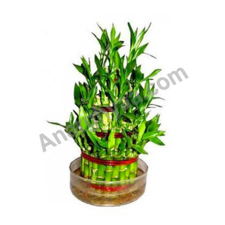 Feng Shui bamboo plant, Anarghyaa.com, Fengshui items online