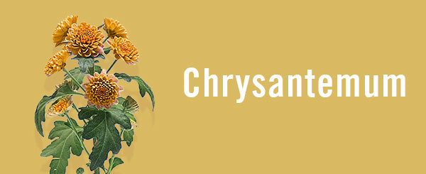 chrysantemum-guide