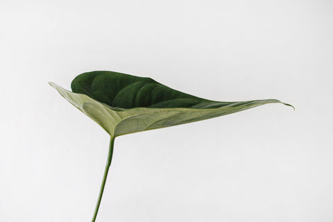 Single green leaf on plain white background