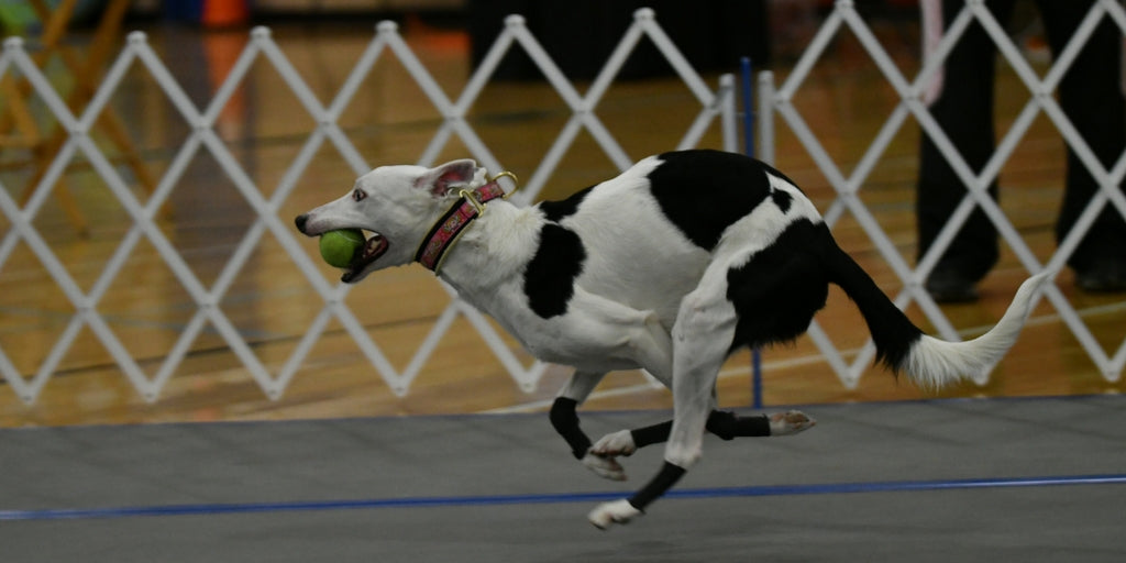 Flyball Warm-Up Routine for Your Dog