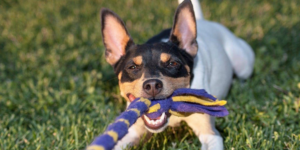 Forces at Play – Catching Your Dog on a Tug