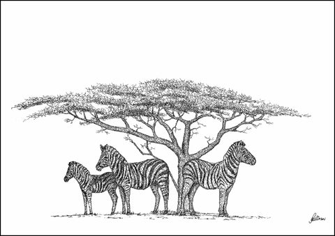 Zebra under Acacia Tree Limited Edition Print