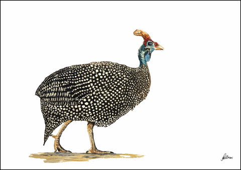 Limited Edition Print Wildlife in colour - Guinea Fowl