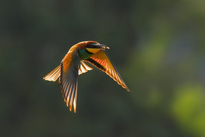 Bee-eaters, Kinkfishers, Rollers
