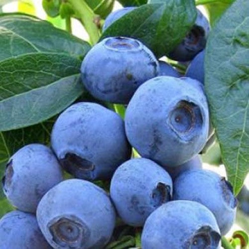 BLUE RAY HIGHBUSH BLUEBERRY 2 YEAR OLD PLANT BUY 3 SETS AND GET ...