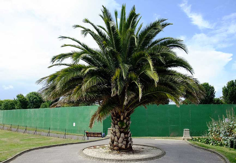 CANARY ISLAND DATE PALM TREE SEEDS