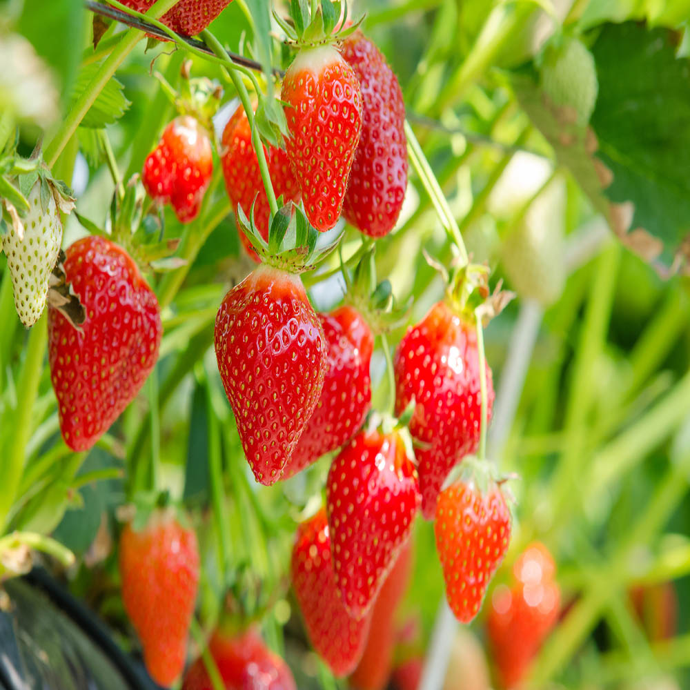 Mara Des Bois Strawberry Plant-BUY 4 GET 1 FREE-Non GMO-FREE Shipping!