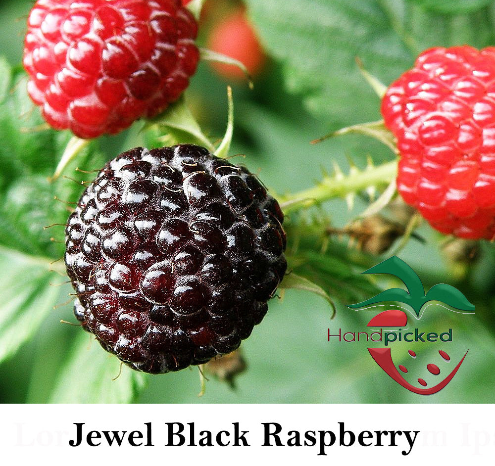 Jewel Black Raspberry Plant -NON- GMO-Buy 4 get 1 set free