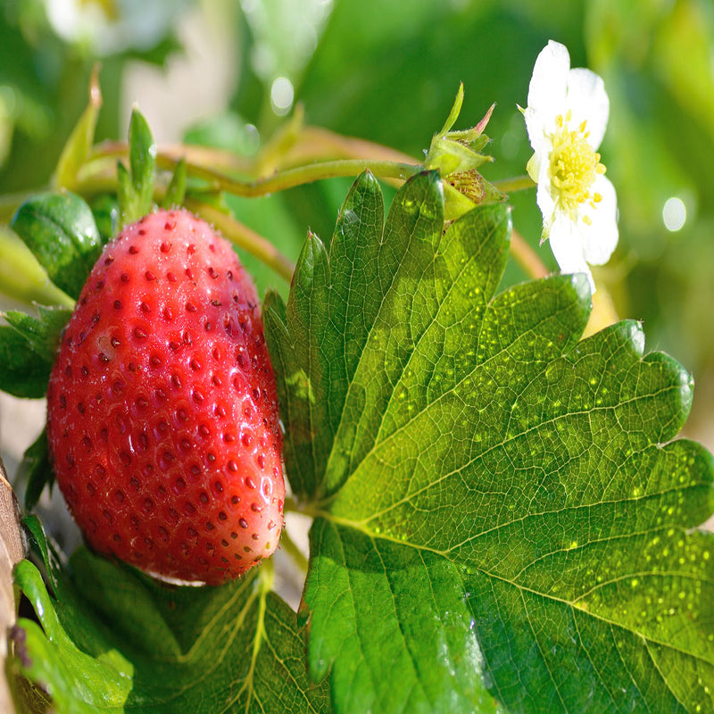 Mar_Des_Biosripe strawberry