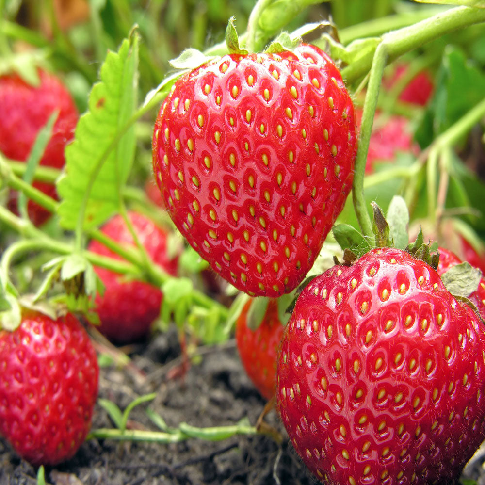 Montery ripe strawberry