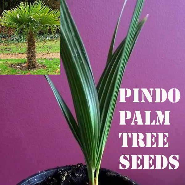 PINDO PALM TREE SEEDS