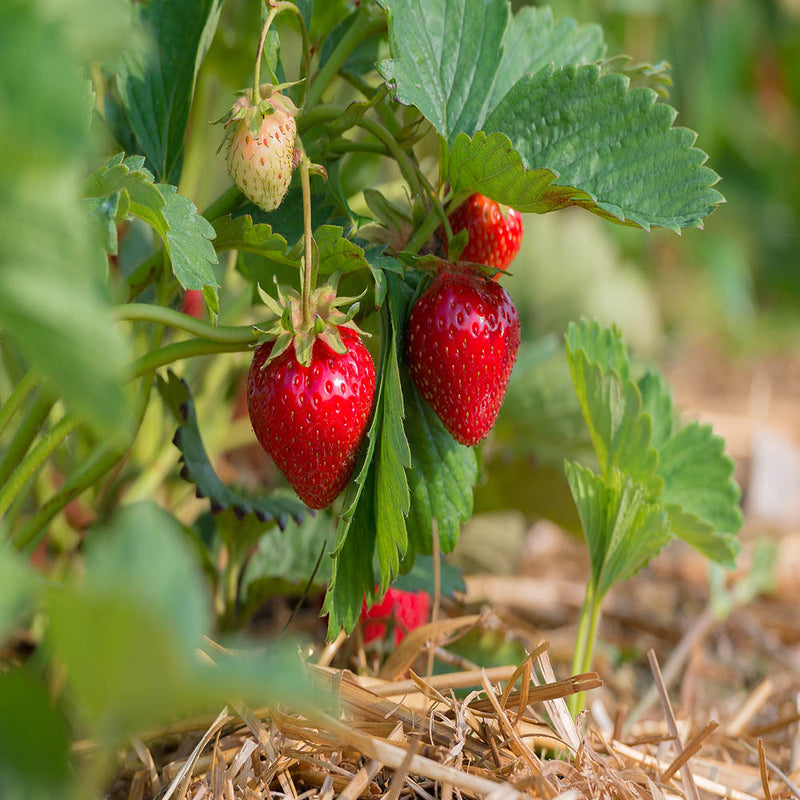 Quinault Everbearer strawberry plants