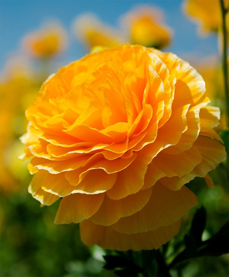 RANUNCULUS ORANGE SHADES BULBS BUY 3 SETS AND GET 4TH SET FOR FREE!