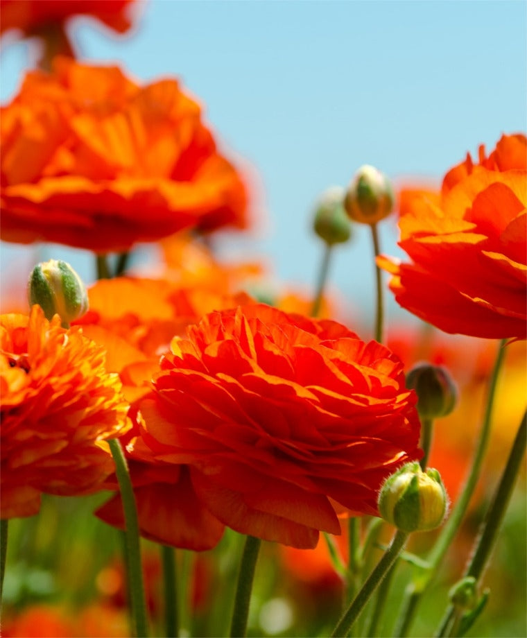 RANUNCULUS ORANGE SHADES 2