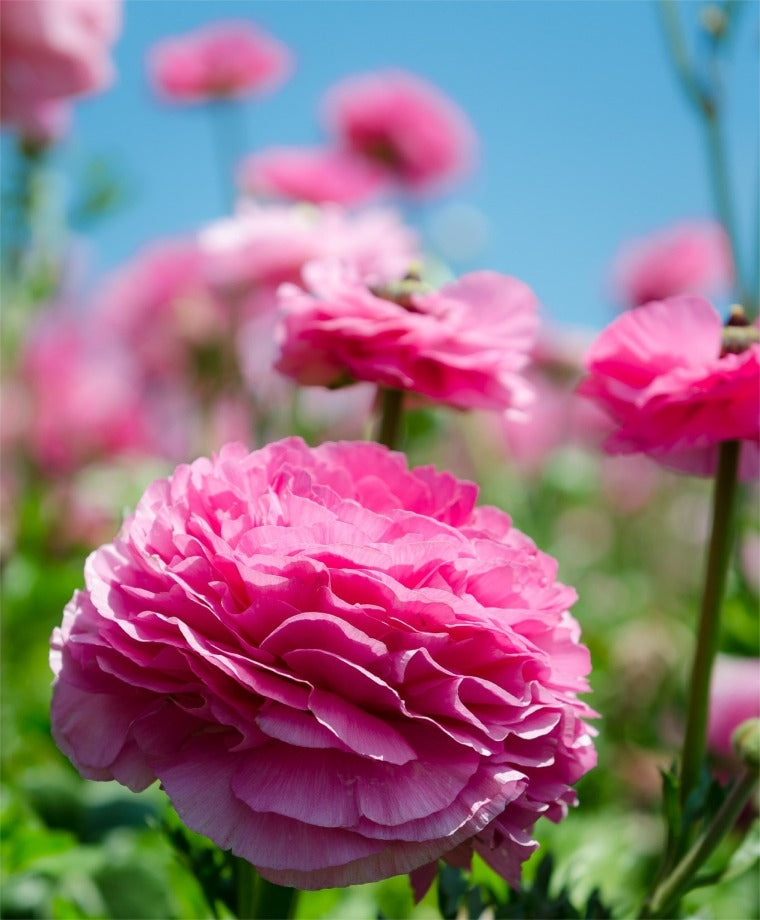 RANUNCULUS PINK SHADES Bulbs