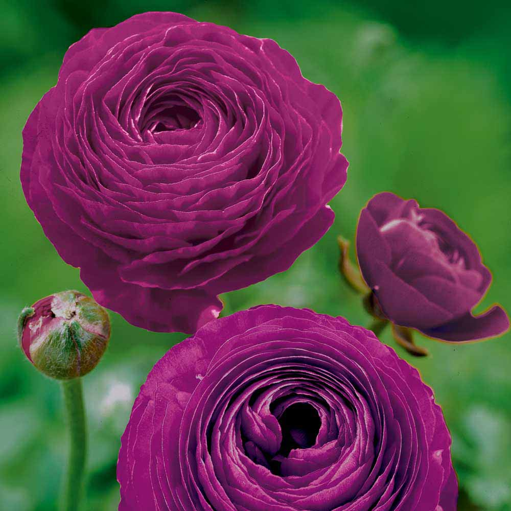 Ranunculus Purple Bulbs
