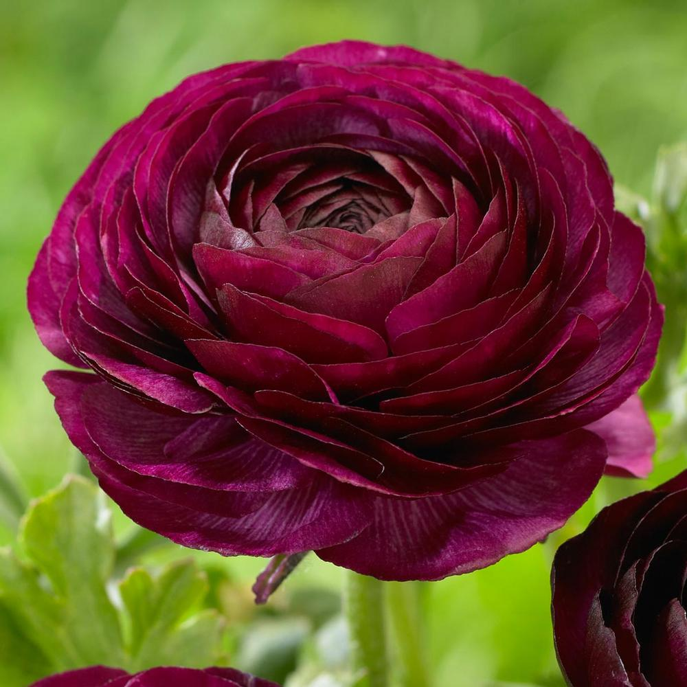 RANUNCULUS PURPLE SHADES BULBS BUY 3 SETS AND GET 4TH SET FOR FREE!