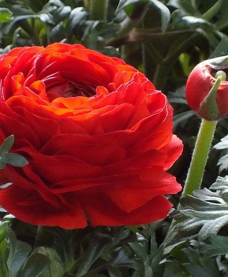 RANUNCULUS RED SHADES