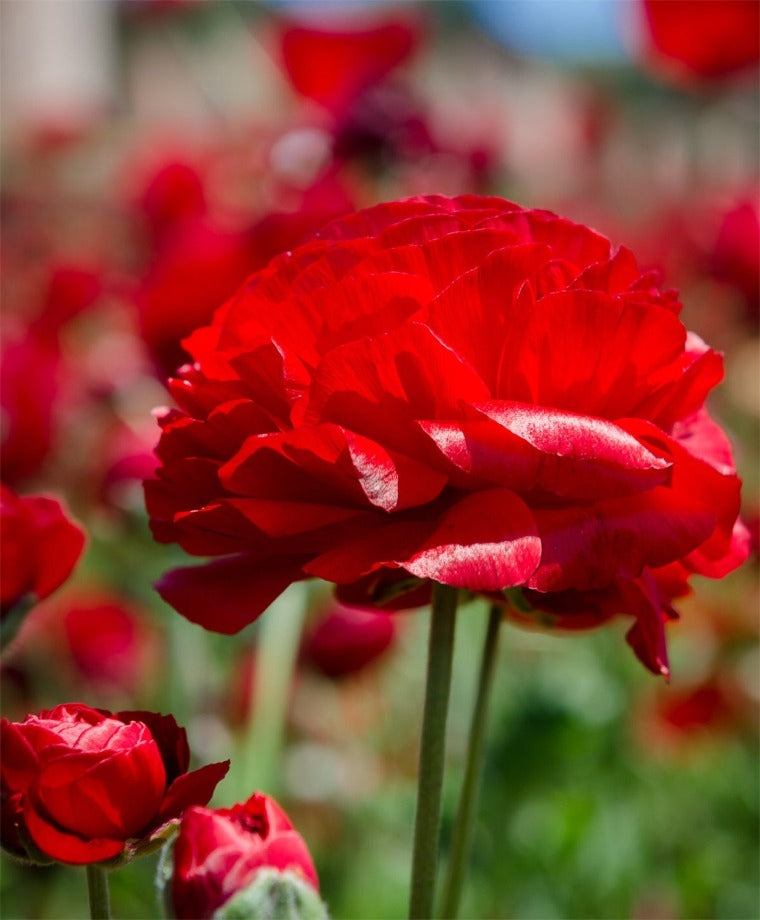 RANUNCULUS RED SHADES BULBS BUY 3 SETS AND GET 4TH SET FOR FREE!