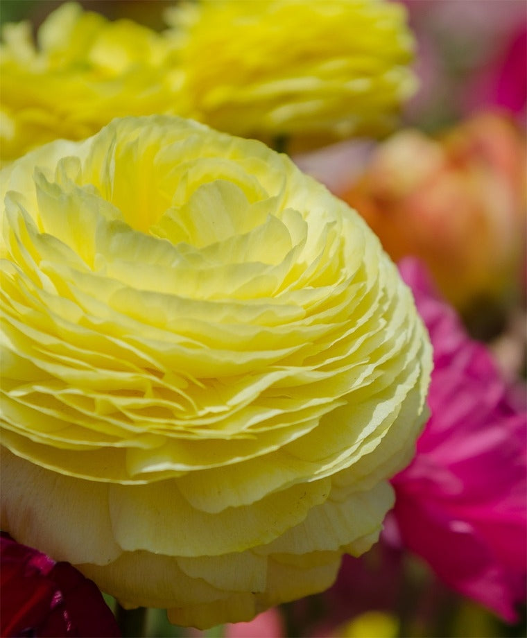 RANUNCULUS YELLOW SHADES BULBS BUY 3 SETS AND GET 4TH SET FOR FREE!