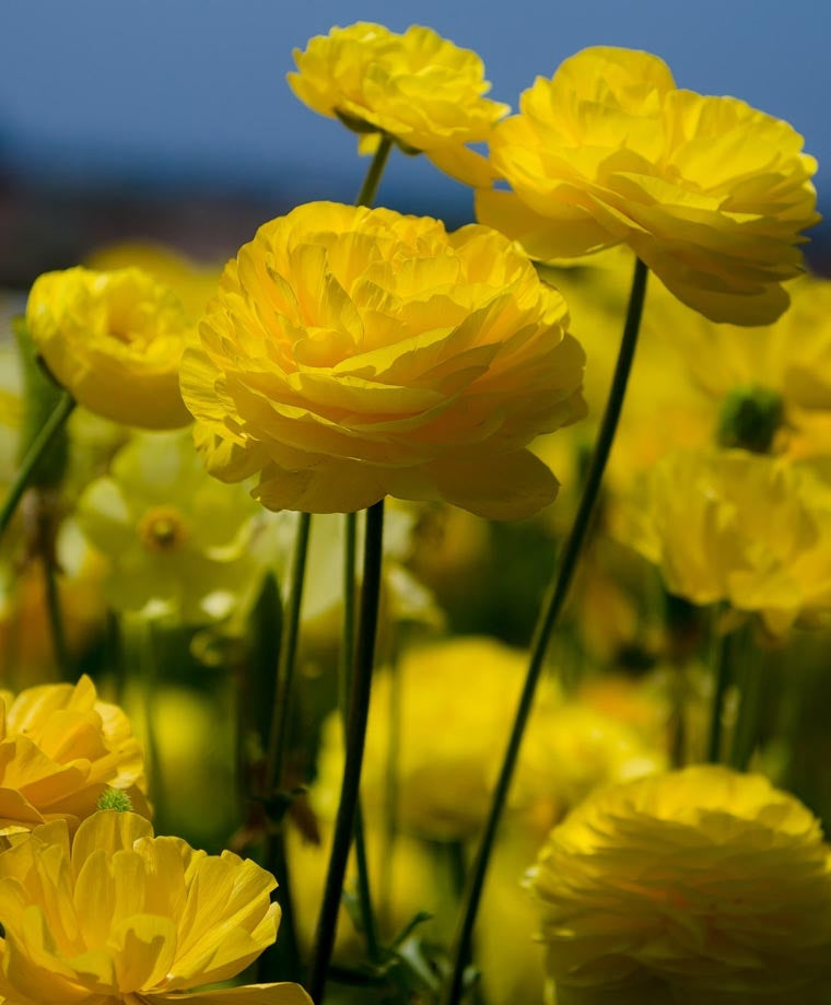 RANUNCULUS YELLOW SHADES BULBS