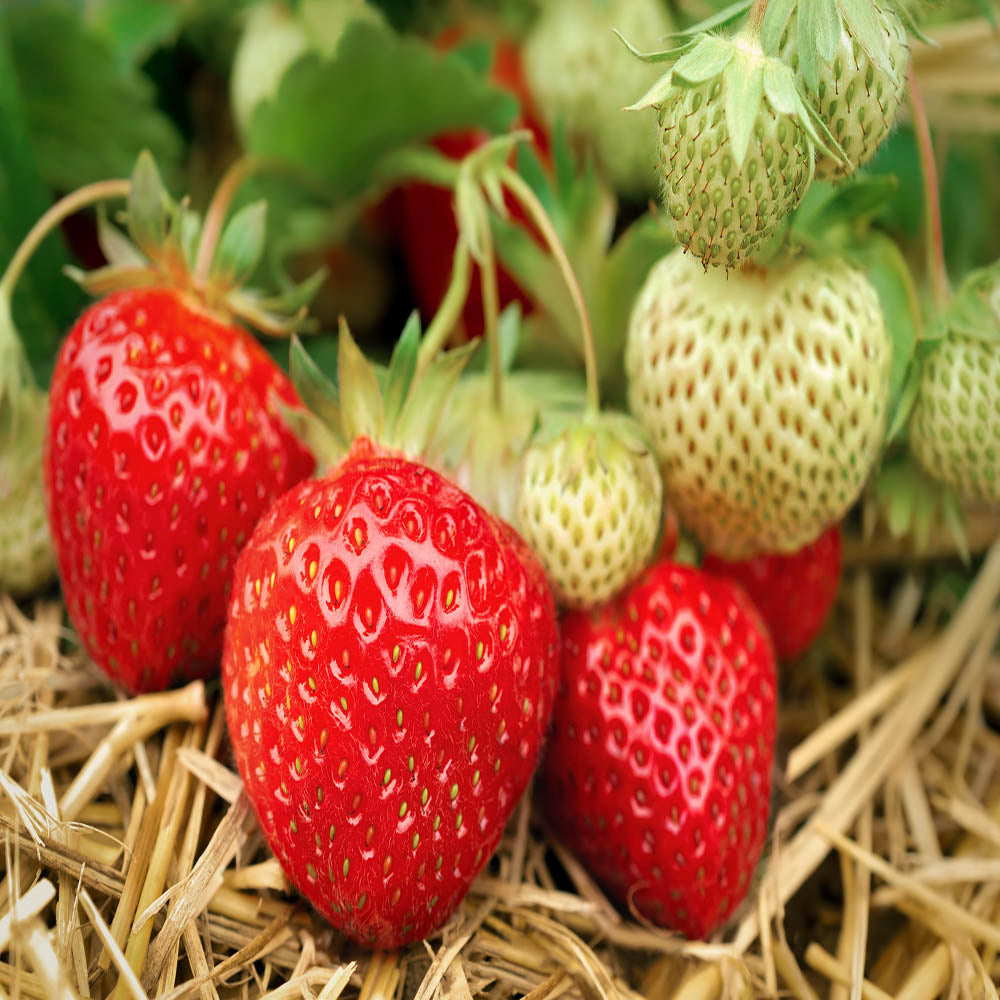 Seascape Strawberry Plants-BUY 4 GET 1 Free-Non GMO-Free Shipping!!!!